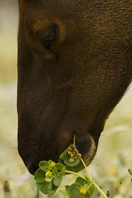 Deer On Beach Photograph - Roosevelt Elk Solemnly Feeding On The Beach by Phil Johnston