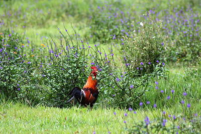 Amazing Stories Photograph - Rooster Country by Ange Sylvestri