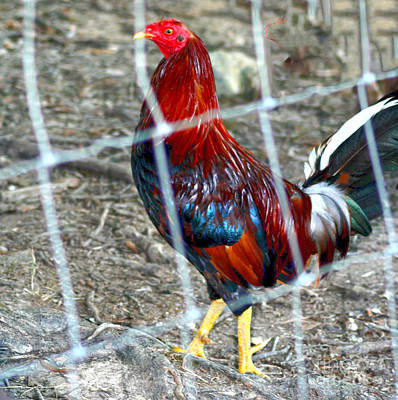 Photograph - Rooster In A Pen by Lesa Fine