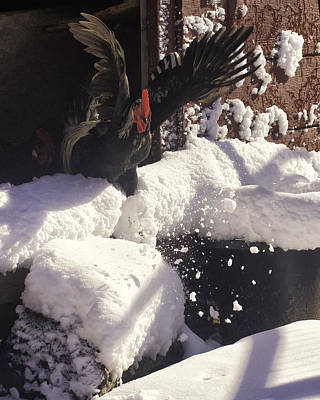 Photograph - Rooster In Deep Snow by Michael Dougherty