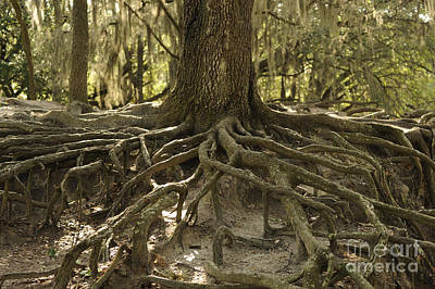 Photograph - Roots From An Old Oak by Nancy Greenland