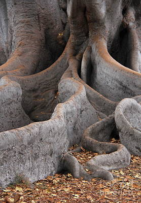 Photograph - Roots Of The Fig by Suzanne Oesterling