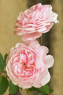 Rosaceae Photograph - Rosa 'a Shropshire Lad' by Adrian Thomas
