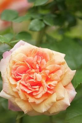Rosa 'alchymist' Flower Art Print