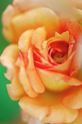 Floribunda Photograph - Rosa 'easy Does It' Flower by Maria Mosolova