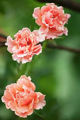 Floribunda Photograph - Rosa 'easy Does It' Flowers by Maria Mosolova