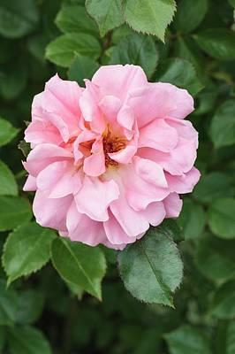 Flower Blooms Photograph - Rosa 'festive Jewel' by Geoff Kidd