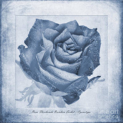 Floribunda Photograph - Rosa Floribunda Rainbow Sorbet Cyanotype by John Edwards