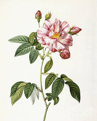Hand Engraving Painting - Rosa Gallica Versicolor by Pierre Joseph Redoute