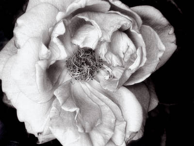 Photograph - Rosa Intrigue #5 by Louise Kumpf