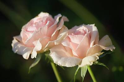 Rosaceae Photograph - Rosa 'johann Strauss' Flowers by Maria Mosolova