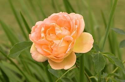 Rosaceae Photograph - Rosa 'lady Of Shalott' by Adrian Thomas