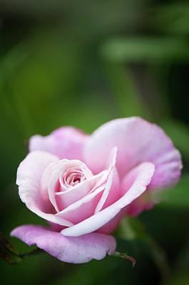 Rosaceae Photograph - Rosa 'madame Antoine Mari' by Maria Mosolova