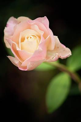 Dudley Photograph - Rosa 'mrs. Dudley Cross' Flower by Maria Mosolova