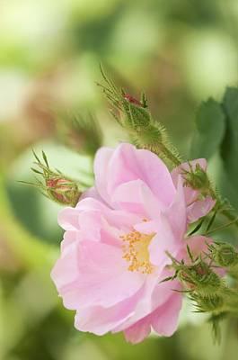 Rosa Pomifera'duplex' Flower Art Print