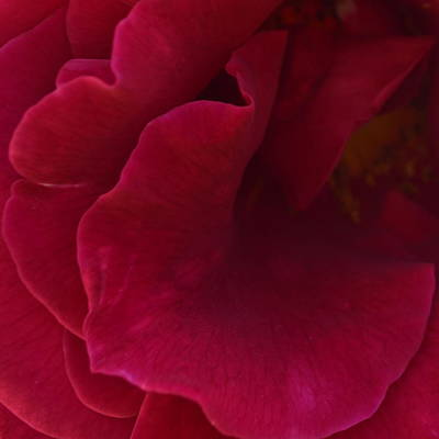 Photograph - Rosa Red 1.2 by Cheryl Miller