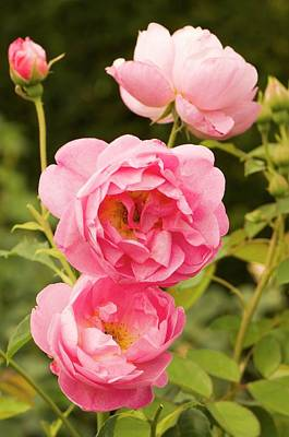 Rosaceae Photograph - Rosa 'royal Jubilee' Flowers by Adrian Thomas
