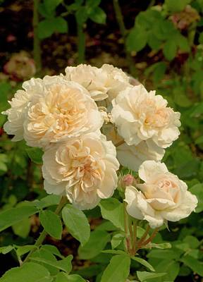 Rosaceae Photograph - Rosa 'the Lady' Flowers by Adrian Thomas