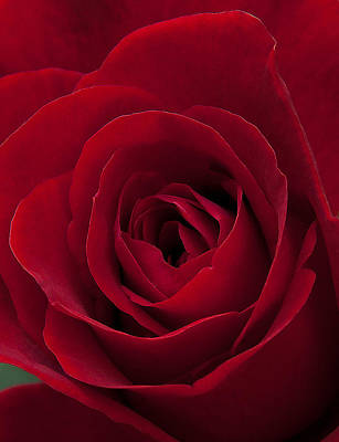 Photograph - Rose 001 by Philip Rispin