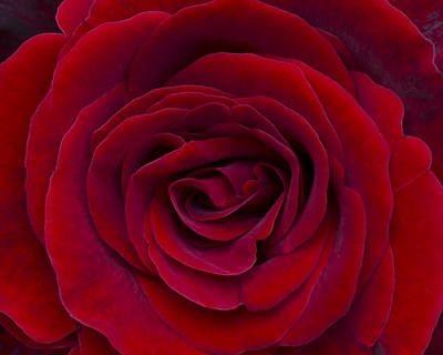 Photograph - Rose 002 by Phil Rispin
