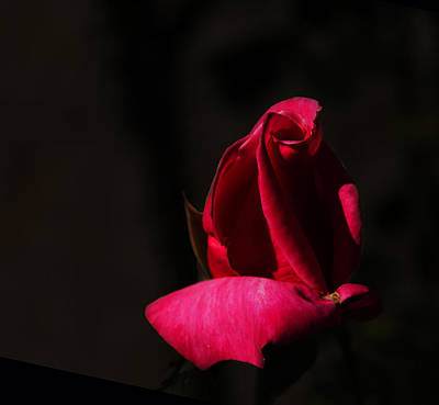 Photograph - Rose 003 by Philip Rispin
