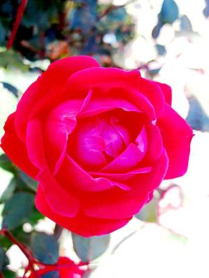 Rose 2 Art Print by Will Boutin Photos
