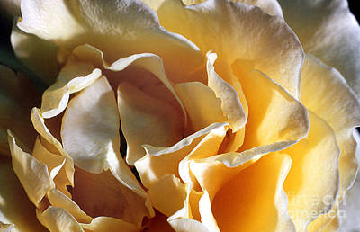 Rose 4 Art Print by Rich Killion