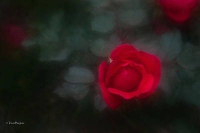 Art Print featuring the photograph Rose 4 by Travis Burgess