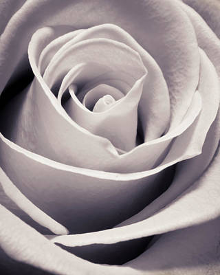 Floral Royalty-Free and Rights-Managed Images - Rose by Adam Romanowicz