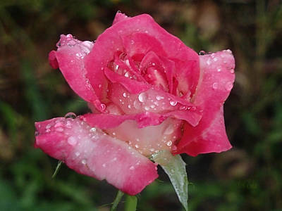 Photograph - Rose After Morning Shower by Becky Erickson