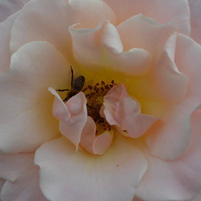 Photograph - Rose And Bee by Cheryl Miller