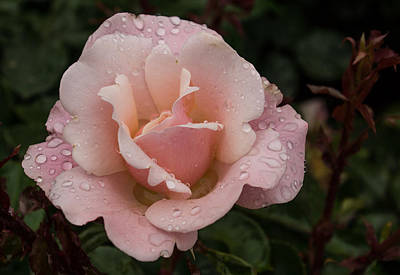 Photograph - Rose And Rain - Pale Pink Raindrops by Georgia Mizuleva