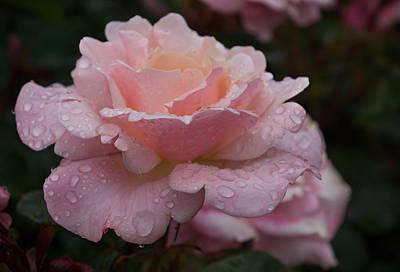 Photograph - Rose And Rain - Wet Pink Blush by Georgia Mizuleva