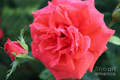 Rose And Rose Bud Art Print by Judy Palkimas