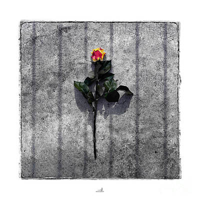 Strau Pyrography - Rose by ARTSHOT - Photographic Art
