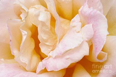 Photograph - Rose Au Naturale by Paul Clinkunbroomer