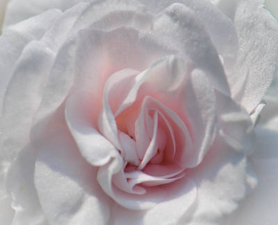 Photograph - Rose Begonia by Amy Porter