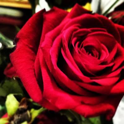 Photograph - Rose Bloom by Marisela Mungia