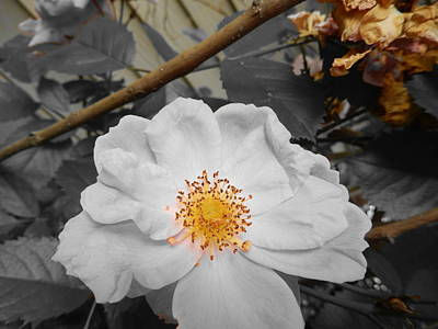 Photograph - Rose Blossom by Betty-Anne McDonald