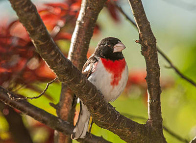 Photograph - Rose-breasted Grosbeak 3 by Lara Ellis