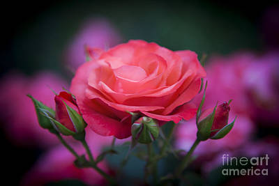 Photograph - Rose by Brian Jannsen