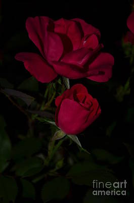 Photograph - Rose Bud And Bloom On Black by Bob Sample