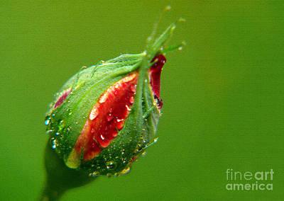 Rose Bud Print by Anuj Nair