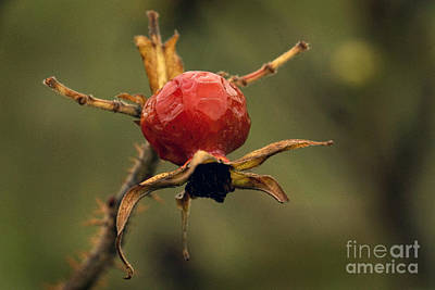 Photograph - Rose Bud by Inge Riis McDonald