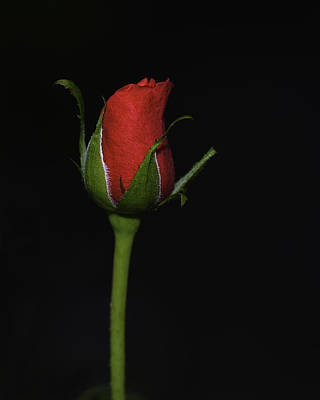 Photograph - Rose Bud by William Jobes
