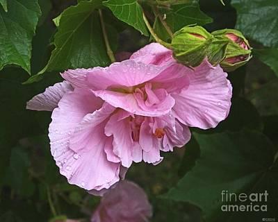 Photograph - Rose Buds And Bloom Louisiana Confererate Rose by Lizi Beard-Ward