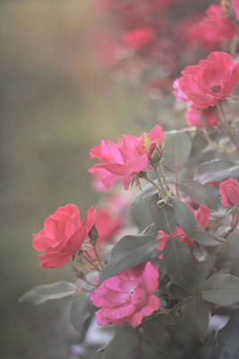 Photograph - Rose Bush by Stephanie Hollingsworth