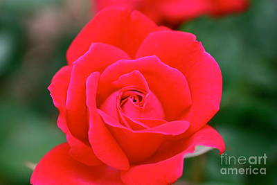 Rose Cascade Art Print by Cathy Dee Janes