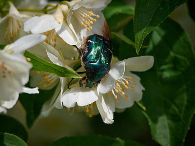 Photograph - Rose Chafer And  English Dogwood by Jouko Lehto