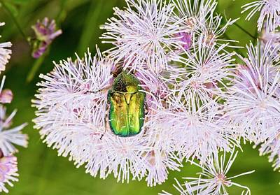 Iridescent Photograph - Rose Chafer On Meadow-rue Flowers by Bob Gibbons